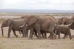 Elephants at Amboseli Nat. Park