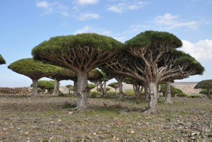 Dracaena cinnabari, Dragon's Blood tree