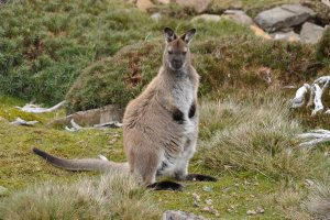 Bennets Wallaby at Ben Lomond