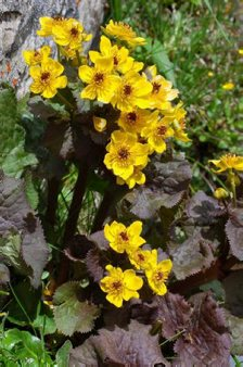 Caltha palustris ssp. chinenses (dark leaf form)