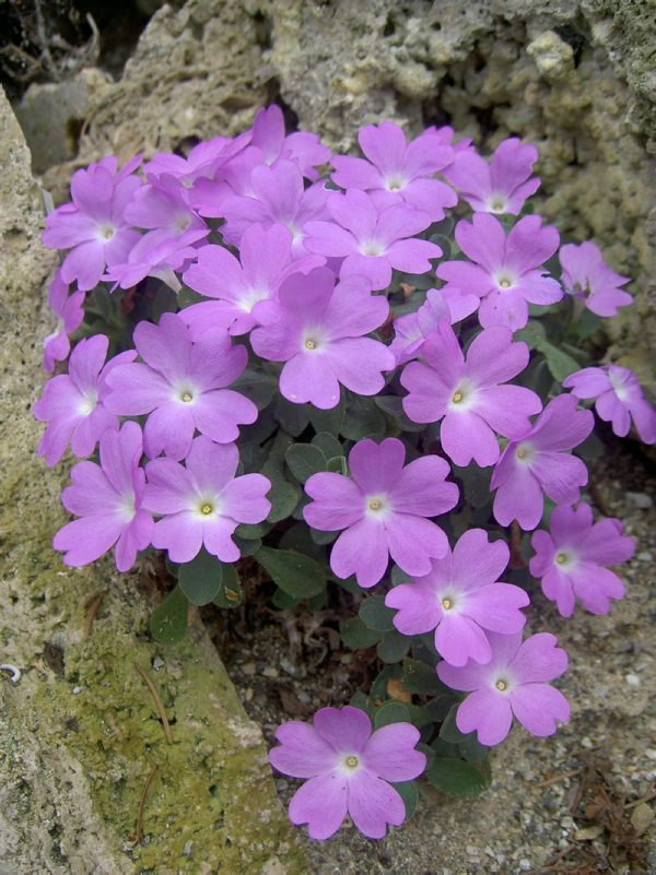 Primula allionii ''Elizabeth Earle''