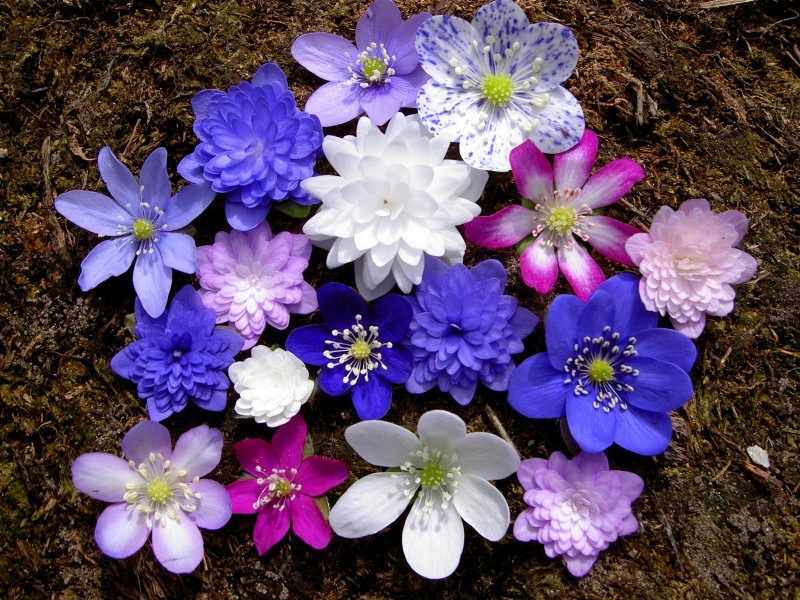 variation of Hepatica forms