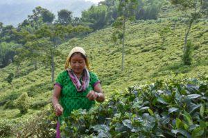 a picker at work at the Peshok Tea Garden