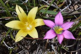 Romulea macowanii & Romulea thodei