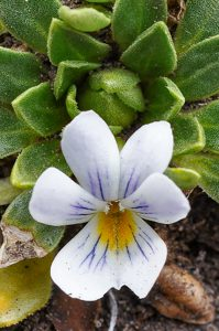 Viola bangii