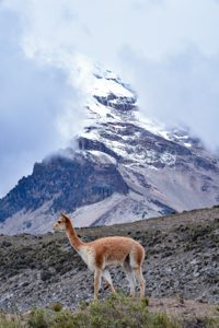 Vicuña (Vicugna vicugna) with Chimborazo in the back