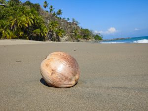 Coconut (Cocus nucifera) at Tango Mar Hotel Beach