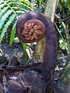Cyathea brunei (monkey tale fern)