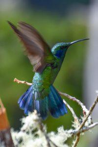 Green Violetear (Colibri thalssinus)