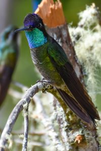 Purple-throated Mountain-gem (Lampornis calolaemus)